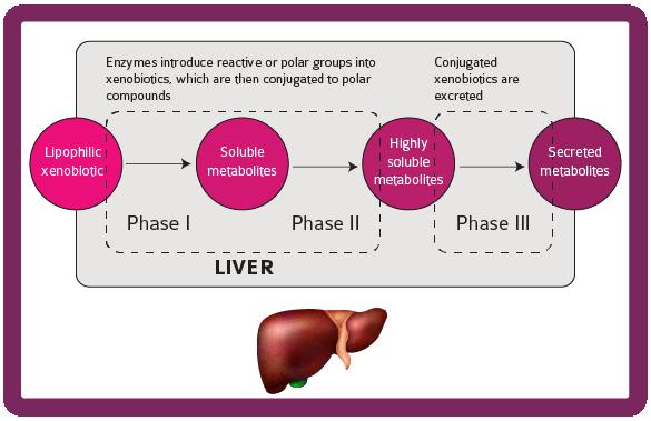 NVC3 liver xenobiotic metabolism
